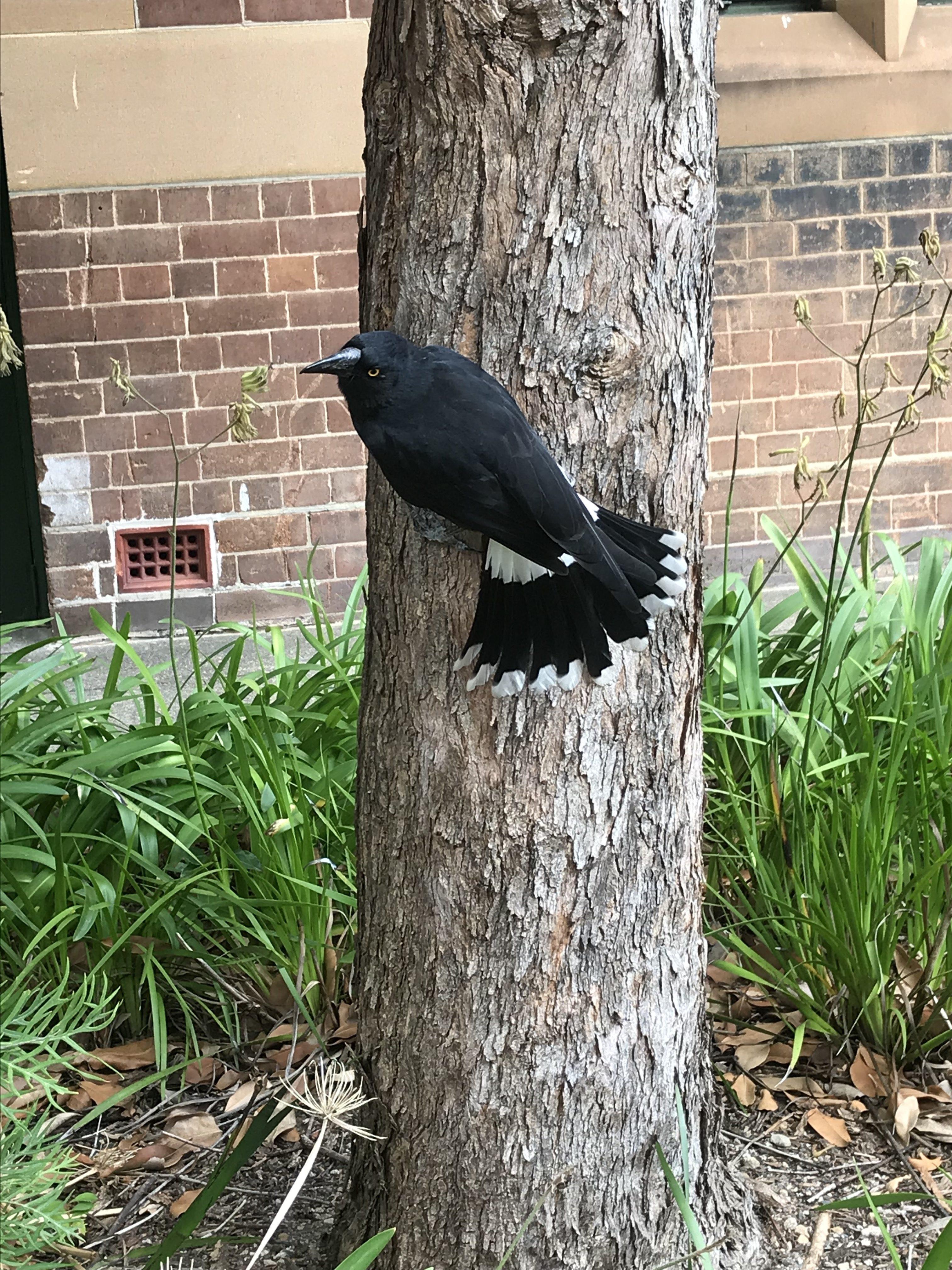 Strepera graculina in sydney university