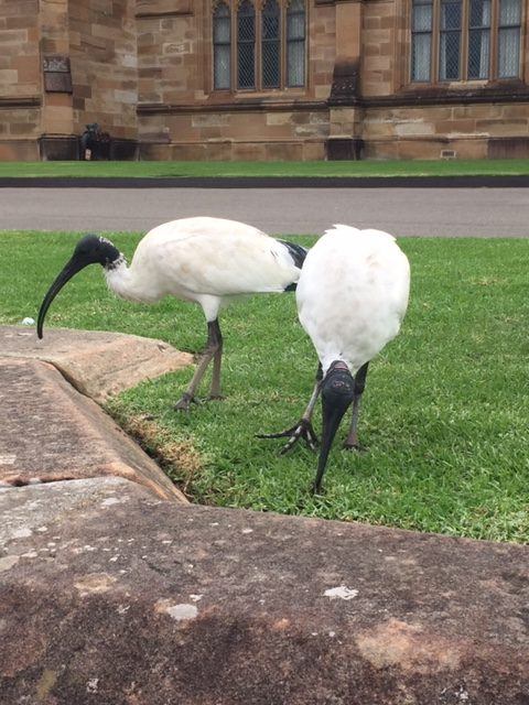 Ibises peck at the ground