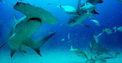 The shot of swimming shark in Sharkwater