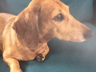 A tan dachshund sits on a couch in profile