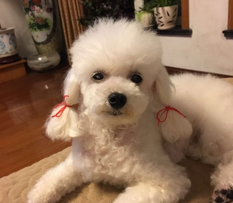 poodle's new style