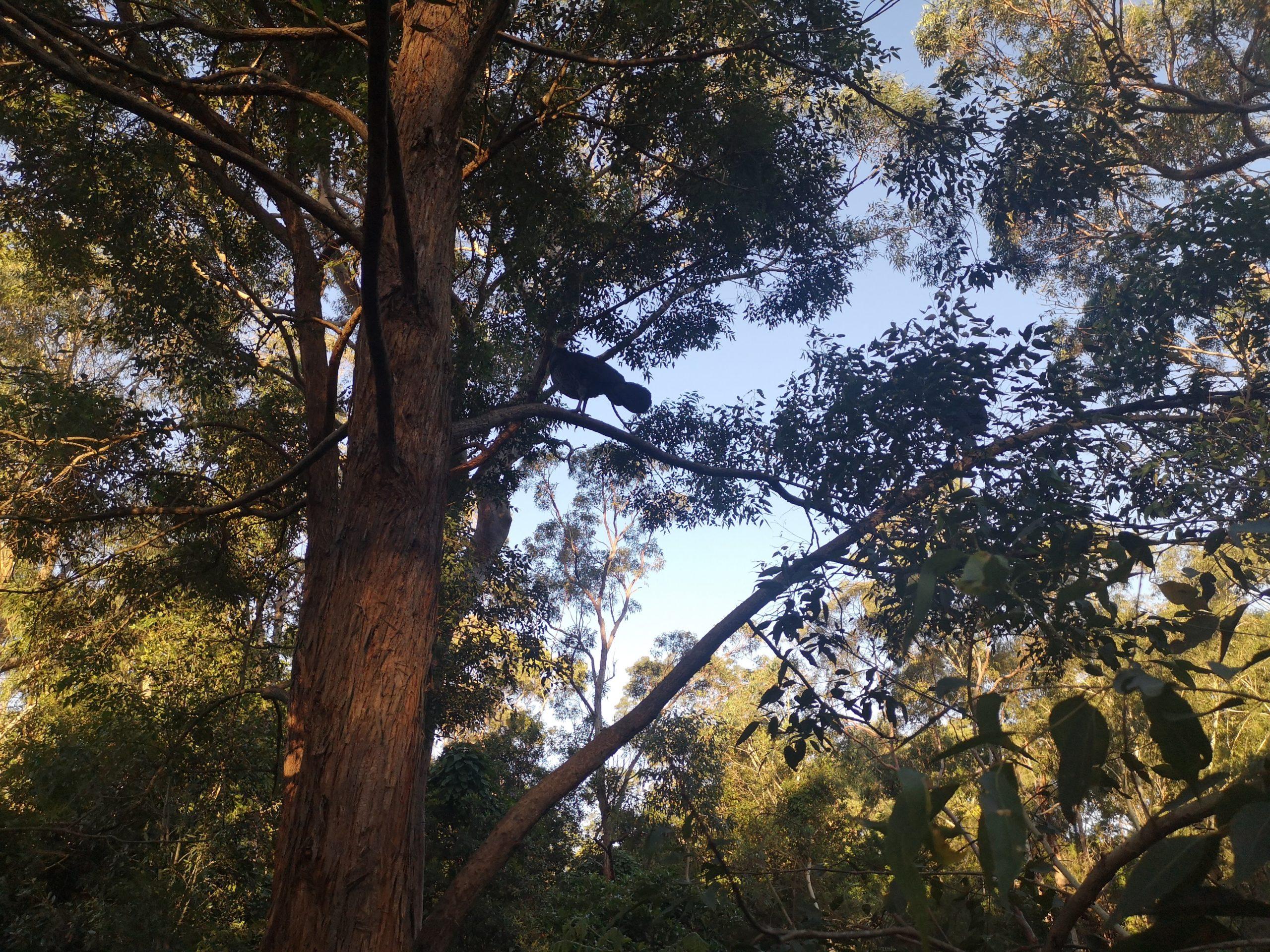 Native bush turkeys roosting on an urban tree