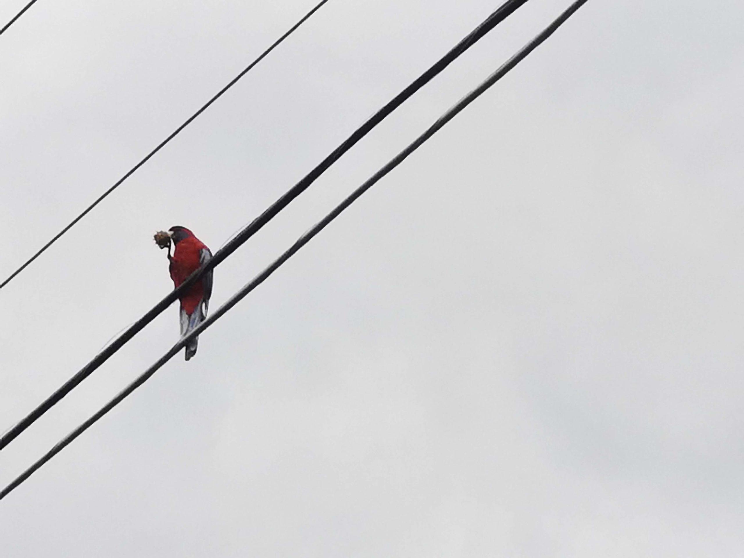 crimson rosella in a wire