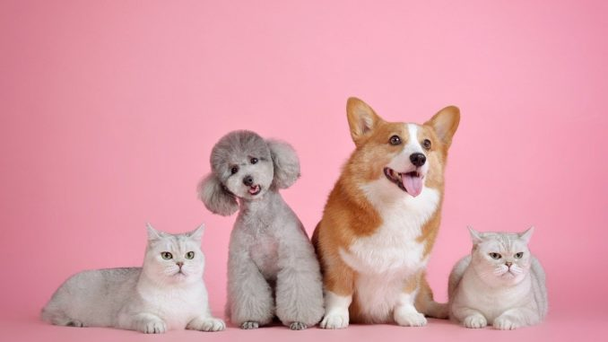 two cats, a poodle and a corgie on a pink background