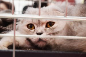 grey cat in a cage in a shelter