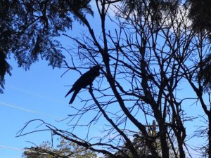 Australian raven perched on a branch against the sky